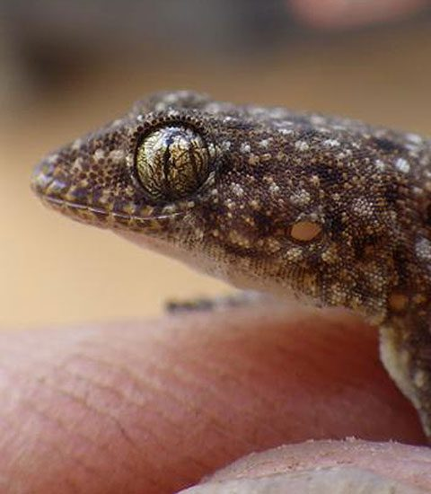 New Gecko Species Discovered at Cobbold Gorge